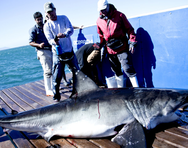 INTERVIEW: Ryan Johnson talks about tagging Great White Sharks and his work with Ocearch