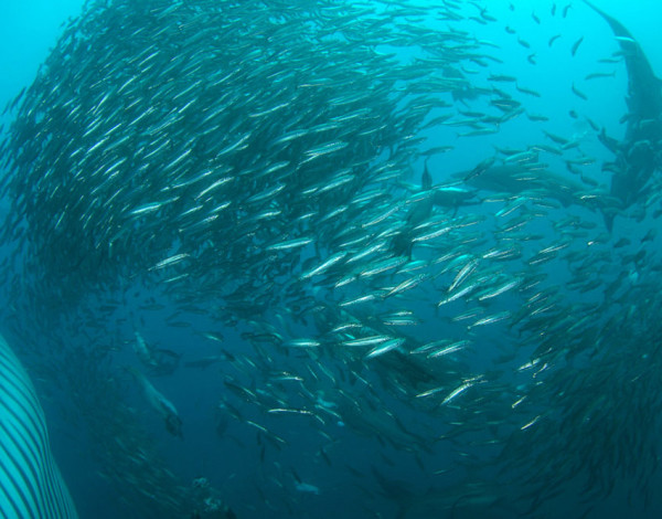 South Africa's Sardine Run – Making the most of it