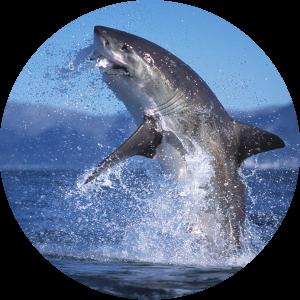 Great whtie shark breach