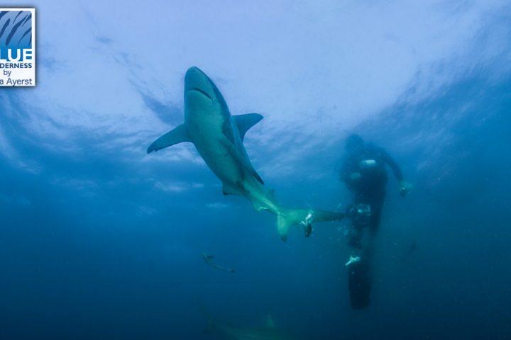 SCUBA Diving with Shark at Aliwal Shoal