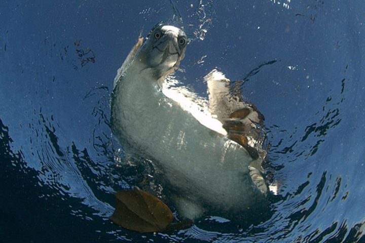 Sardine Run South Africa Cape Gannet