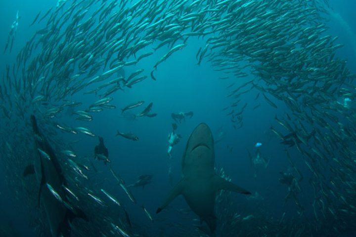 Sardine Run South Africa black tip shark