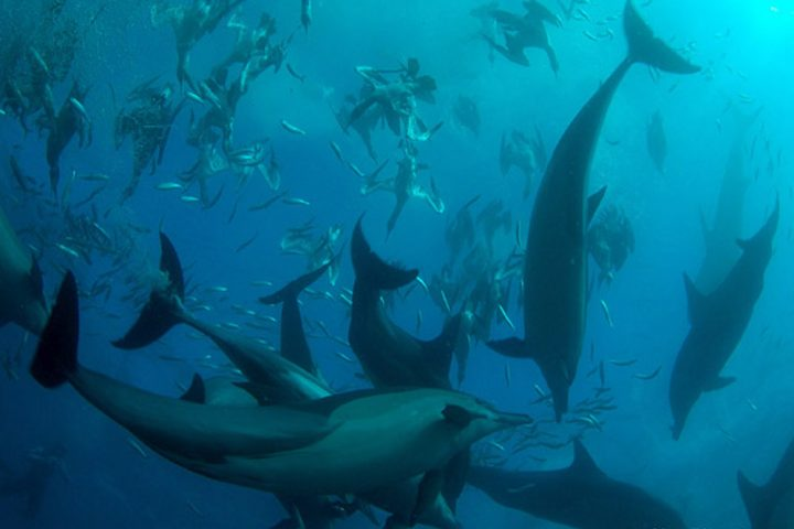 Sardine Run South Africa common dolphins