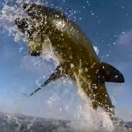 Great white shark breach cam