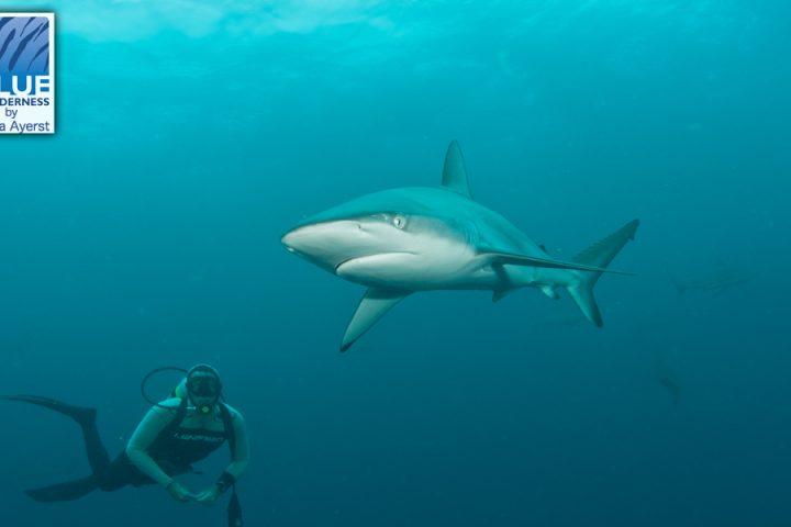 Shark diver at Aliwal Shoal