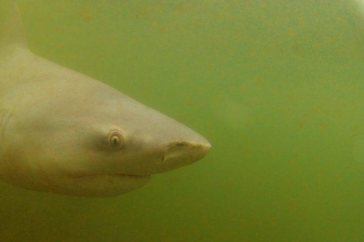 Shark meet croc9