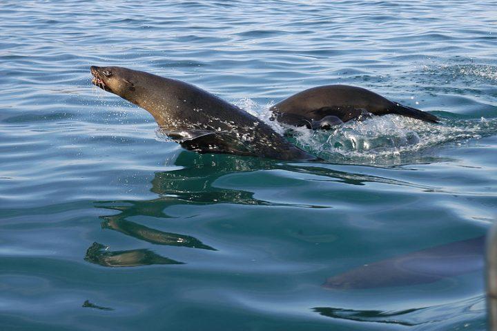 Sharkville  - Cape fur seals