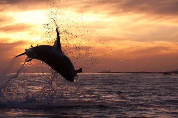 Silhouette of white shark breach attack