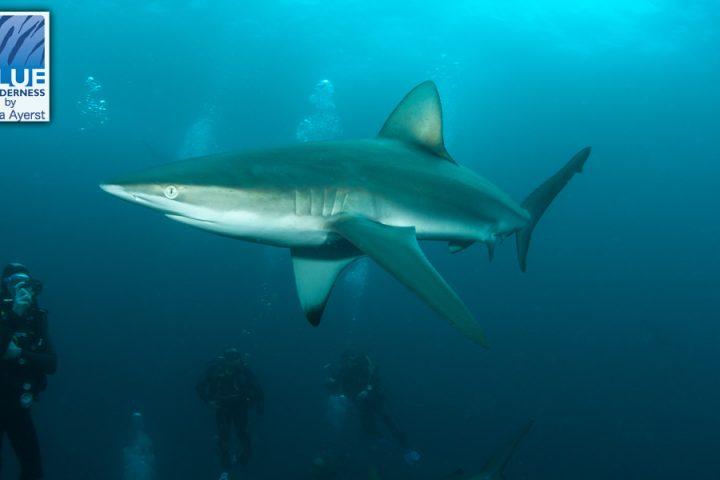 shark diving photographer at Durban Aliwal Shoal
