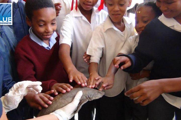 shark volunteers to dissection for school children