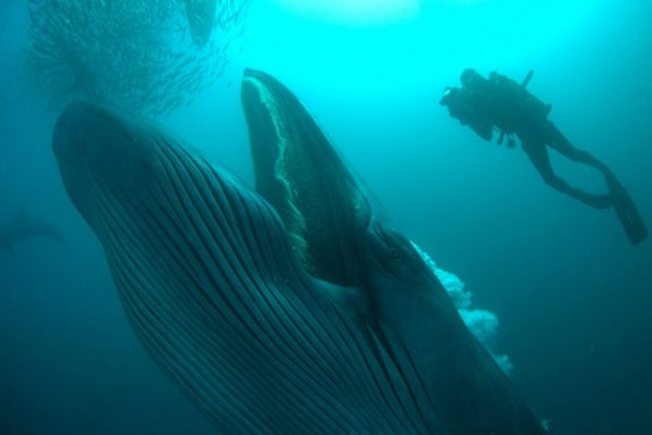 A Brydes whale swallowing sardine bait ball on South Africa's sardine run