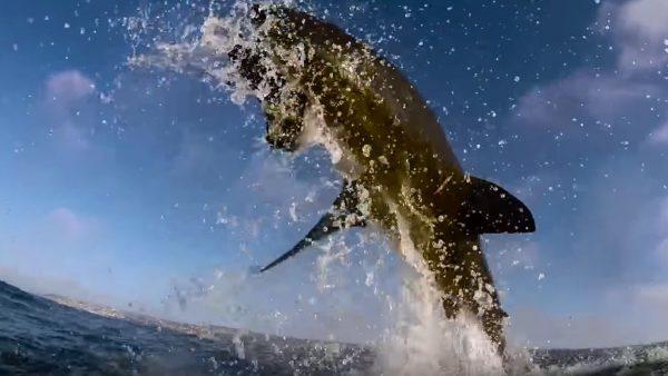 White Shark - Breaching