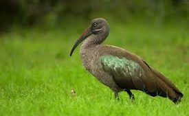Hadeda Bird