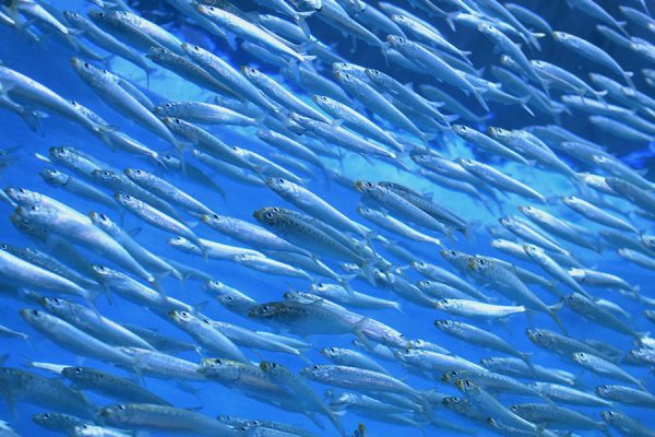South Africa Sardine Run - sardine