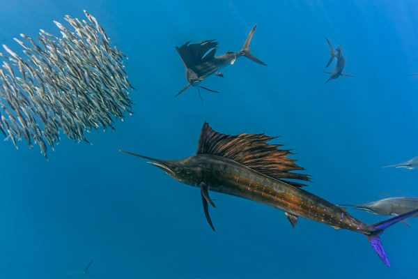 Wildlife, media, shark and conservation training --sailfish