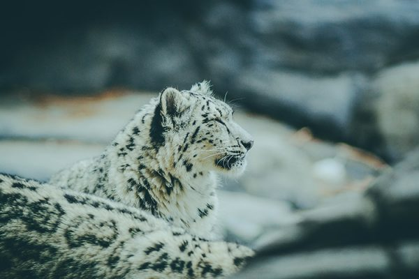 Wildlife, media, shark and conservation training - snowleopards